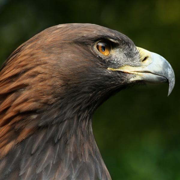 Głowa orła przedniego